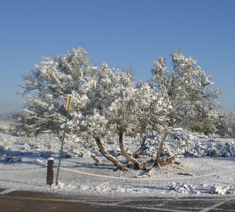 Snowy trees at rest area west of Las Cruces, New Mexico